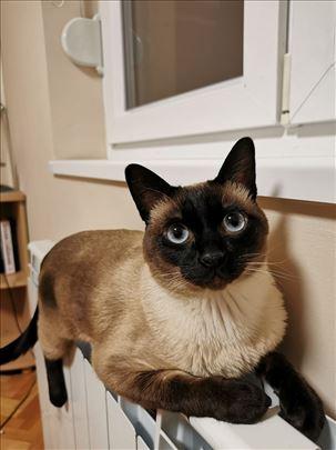 Sijamska , mlada mačka