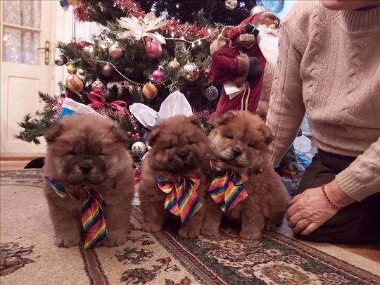Čau-čau štenci na prodaju