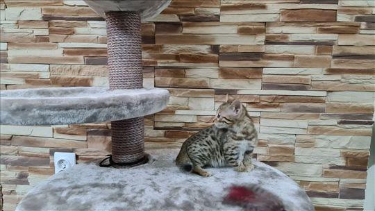 Bengalska , mlada mačka
