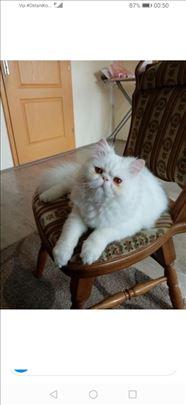 Persijska , odrasla mačka spremna za parenje.