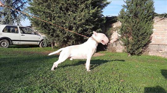 Bul terijer, odrastao pas