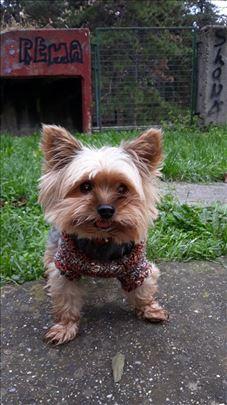 Jorkširski terijer, odrastao pas, spreman za paren