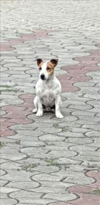 *PARENJE* Dzek Rasel Terijer, odrastao pas
