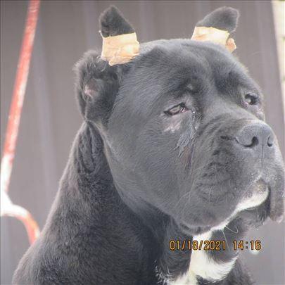 Cane Corso (kane korso) žensko štene