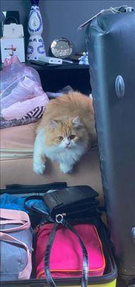 Persijska ,cistokrvna  mlada mačka