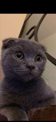 Škotski fold, mlada mačka