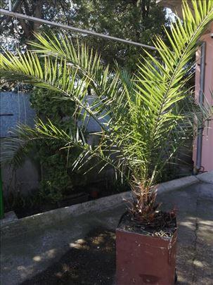 Palma - Phoenix dactylifera