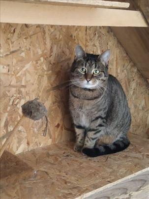 Lu, tabby cat
