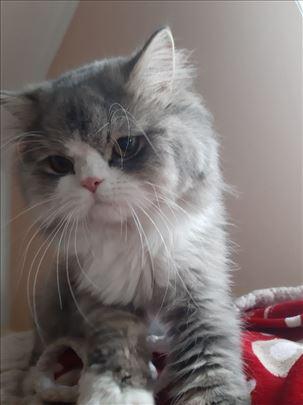 Persijska , mlada mačka