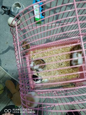 Hrčci na prodaju
