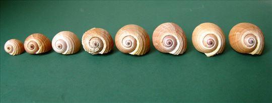 Morske školjke Bačvaš - niz 8 kom