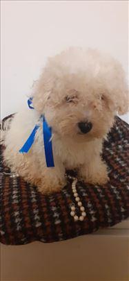 Maltipoo štene, poklon oprema