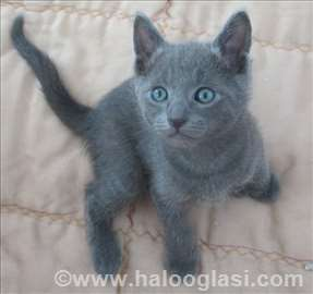 Ruska plava, mačići