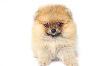 Pomeranski špic boo, prelepi štenci
