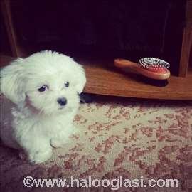 Maltezer mini, štene