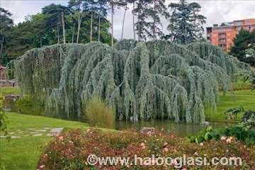 Atlaski kedar sadnice  (forma padajućih grana)