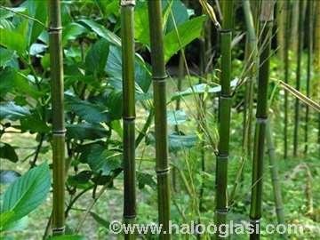Bambus sadnice