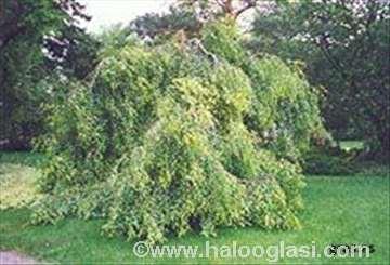 Breza sadnice (forma padajućih grana)