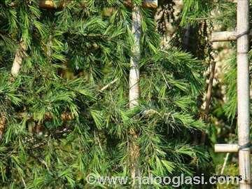 Himalajski kedar sadnice