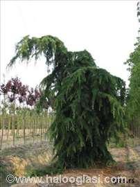 Himalajski kedar sadnice (forma padajućih grana)