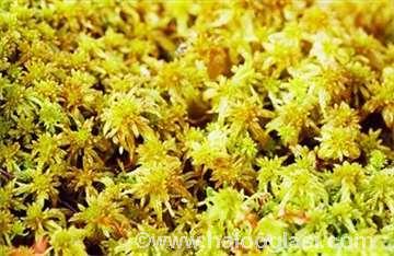 Sfagnum - Zlatna mahovina