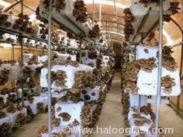 Seme gljive bukovače