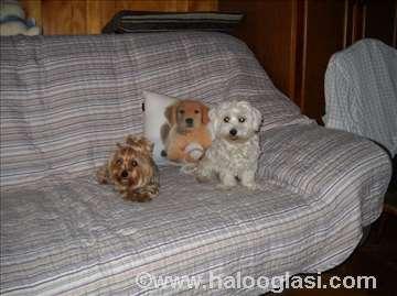 Čuvanje malih pasa u stanu