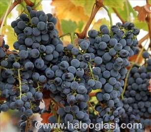 Vinsko grožđe merlot i cabernet sauvignon