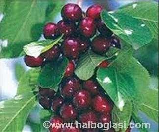 Sadnice trešnje i sve druge sadnice