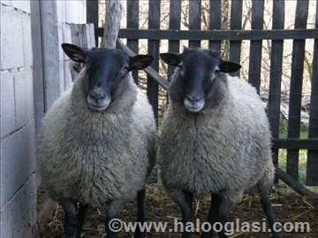 Romanovske mlade ovce i ovnovi
