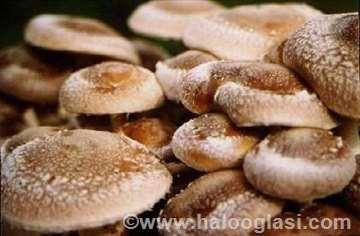 Micelijum gljiva za sadnju na oblicama