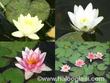 Lokvanji, zumbuli i druge vodene biljke