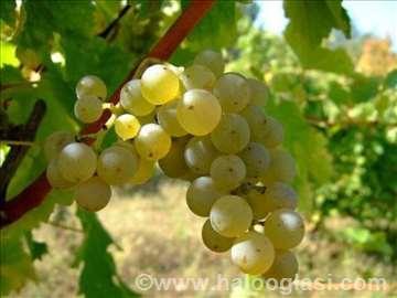 Belo groždje sorte sovinjon blank 2016.
