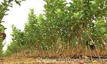 Jabuka (sadnice jabuke)