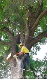 Seča i orezivanje drveća