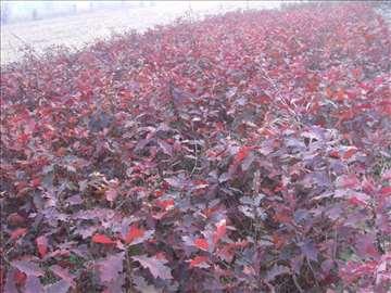 Crveni hrast - sadnice / povoljno