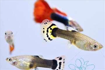 Ribice gupi