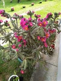 Kaktus 1,8m