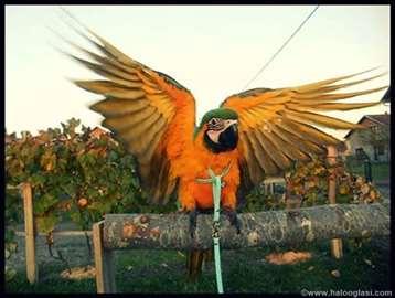 Povoci za papagaje