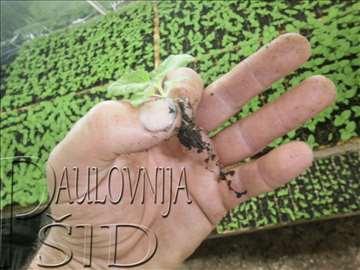 Paulovnija (Paulownia)  - rasad