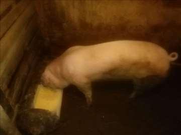 Prasići i svinje na prodaju