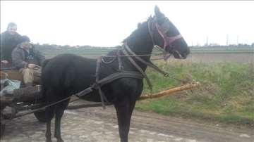 Radni konj rase Nonijus