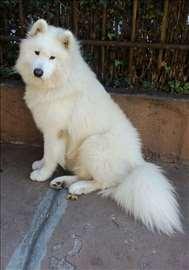 Samojed, odrastao pas