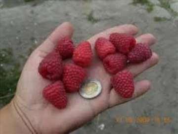 Prodajem sadnice malina