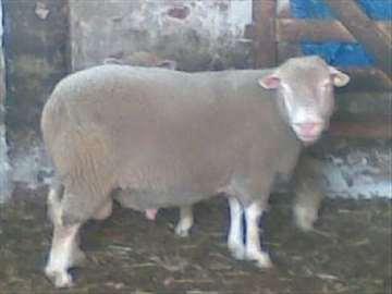 Ovce il de frans (ille de france) i koze alpina
