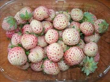 Bele jagode - sadnice za svako doba