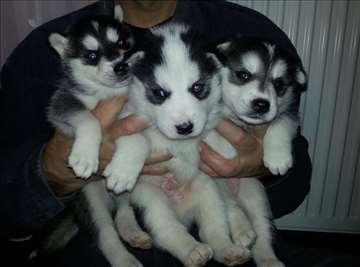 Sibirski haski , štene, prodaja