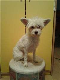 Kineski ćubasti pas, mlad pas