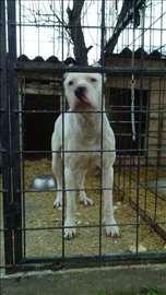 Argentinski pas mužjak slobodan za parenje