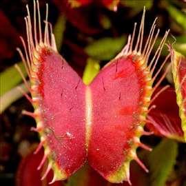 Biljka mesožder seme